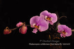 Fragrant Phalaenopsis schilleriana – Species – Mottled Leaves - Orchid Design