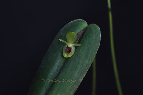 Pleurothallis georgraphica – Ecuadorian Species - Orchid Design