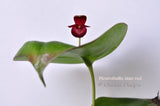 Pleurothallis titan red – The Giant Pleurothallis - Orchid Design
