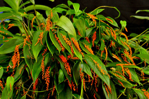 Pleurothallis truncata – Species Ecuador - Orchid Design