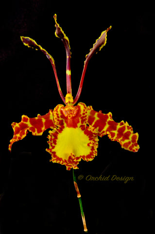 Psychopsis Mariposa 'Green Valley' - Orchid Design