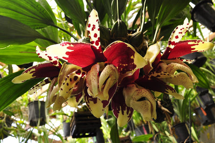 Stanhopea tigrina nigroviolacea 'The Predator' FCC/AOS – Rare Species – Very Fragrant - Orchid Design