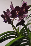 Black Vanda Dr. Anek x Mimi Palmer 'Midnight Serenade' – FRAGRANT - Orchid Design