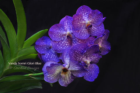 Vanda Somsri Glory 'Blue' – Non-Stop Bloomer - Orchid Design