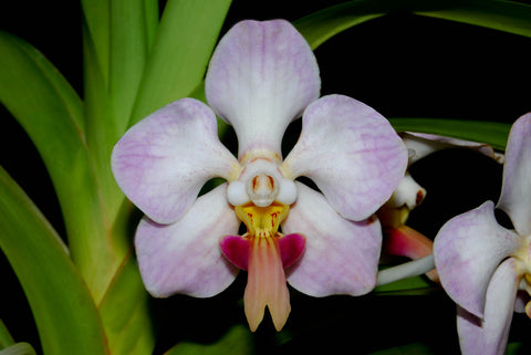 Vanda foetida – Rare Species - Orchid Design
