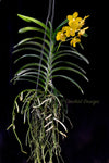 Fragrant Yellow – Vanda tessellata x Vanda Charles Goodfellow - Orchid Design