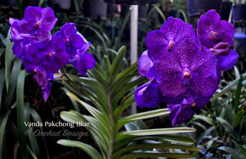 Vanda Pakchong Blue – 3 feet tall - Orchid Design