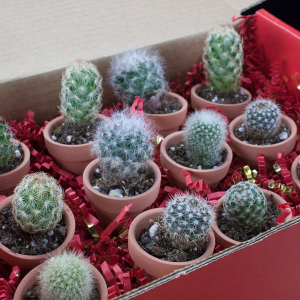 Different varieties of cacti in Cactus Mart's Cacti Collection Gift Box