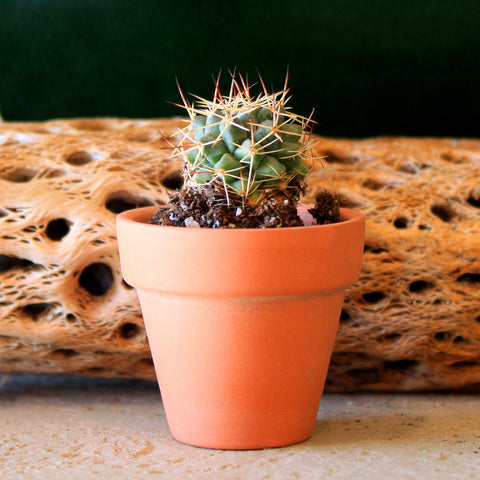 "Mini Cactus ""Dig Your Own"" sized at Cactus Mart"