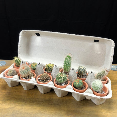 One Dozen Tiny Cacti in Cactus Mart Egg Carton