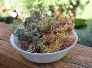 Multi-Colored / Full Spectrum Irish Sea Moss | Wildcrafted from St. Lucia