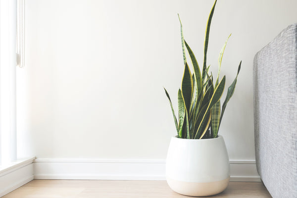 How To Look After Snake Plants