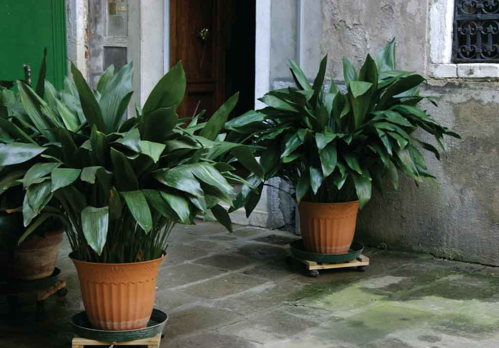 Aspidistra unkillable house plants