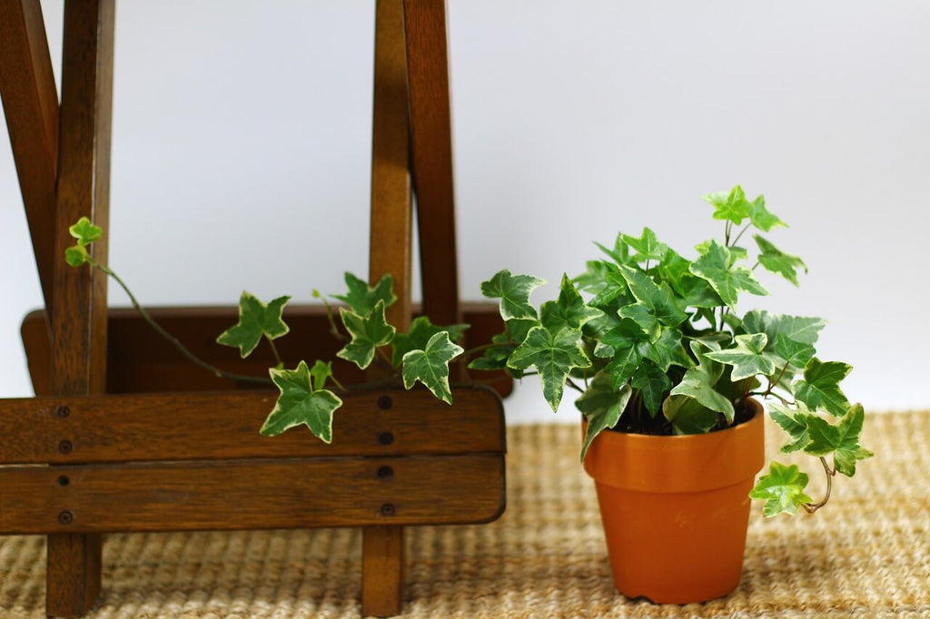 English Ivy the geometric planter