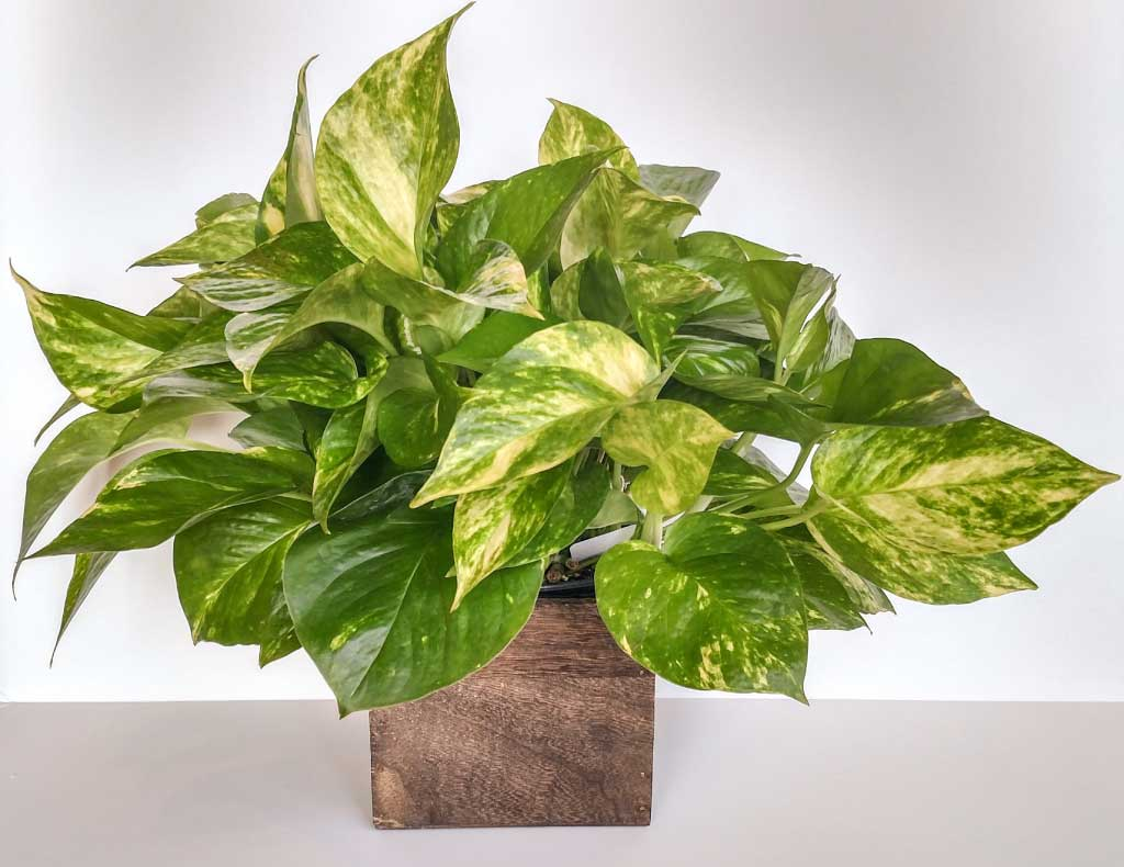 Golden Pothos air filtering plant