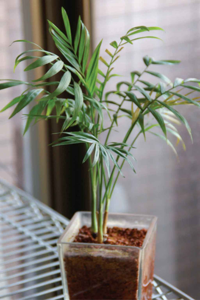 Parlor Palm unkillable house plant