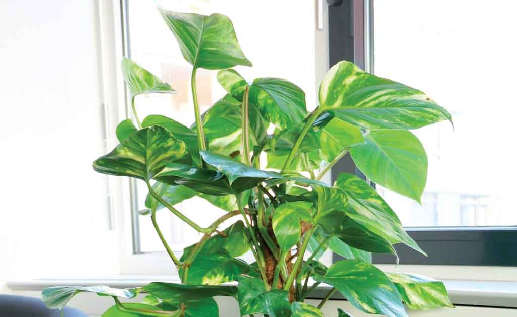 Philodendrons unkillable house plant