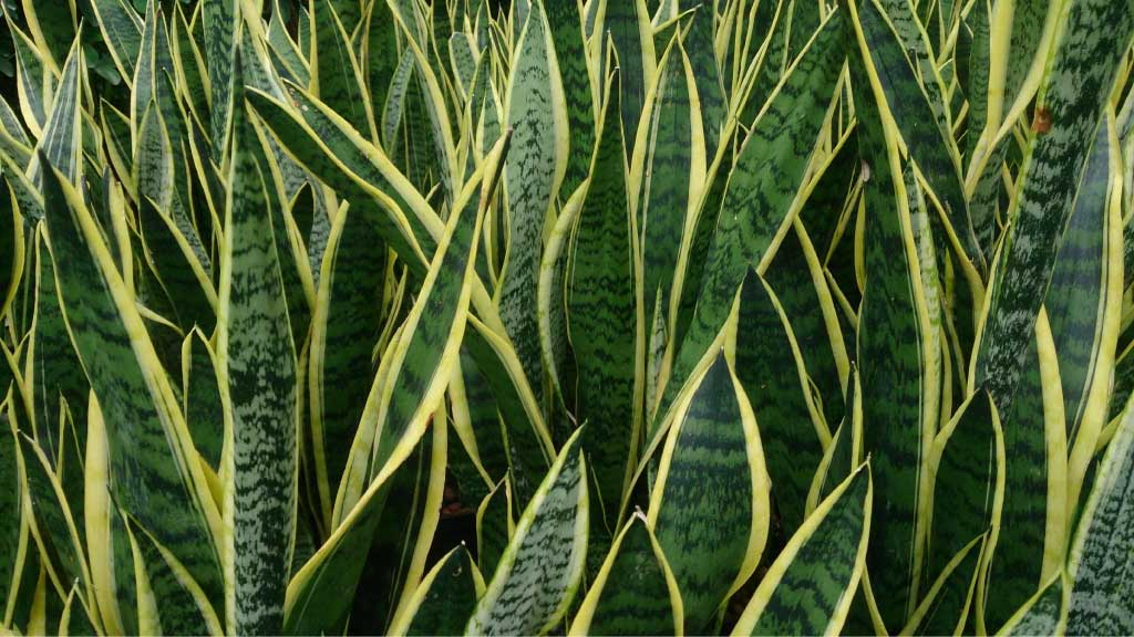 close up of snake plants leaves