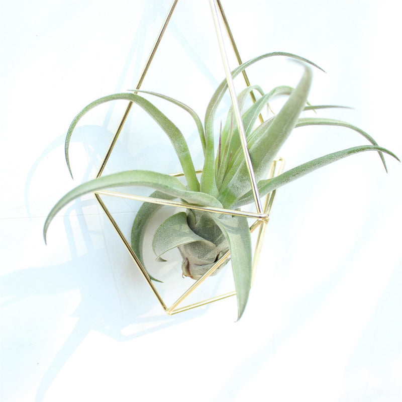 Air Plant Wall Cage (2 colors)