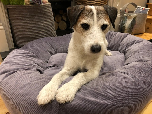 Tag a Parson Russell Terrier in bed