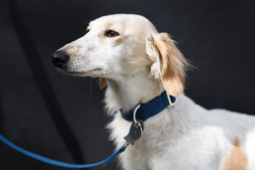 ANGEL : COLLARS AND LEADS FOR A SALUKI