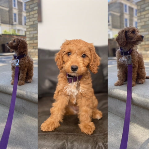 cavapoo collar and lead