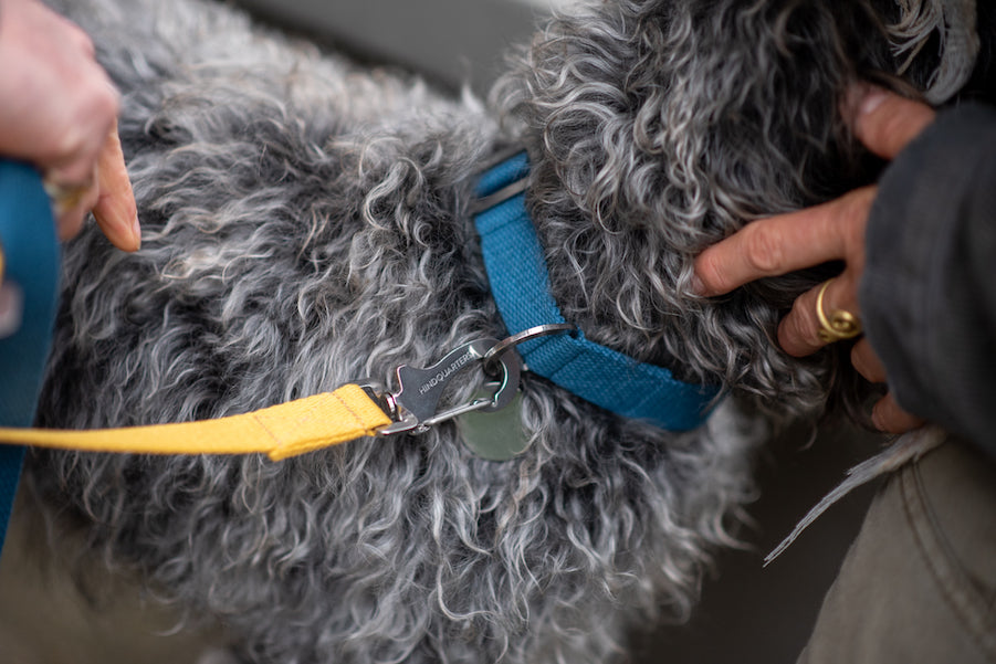 comfy blue collar and lead