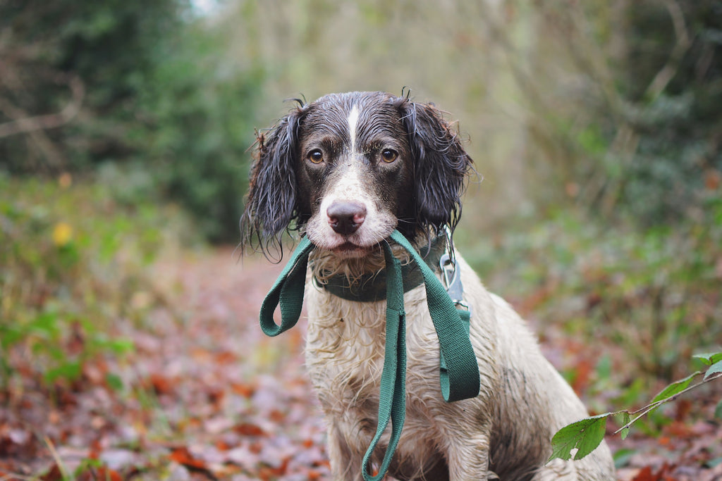 green collar and lead for a springer spaniel