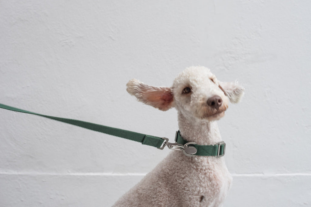 green collar and lead for bedlington