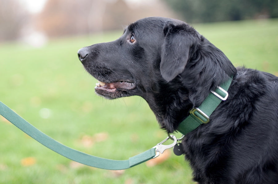 green collar for a lab