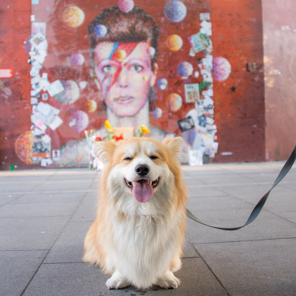 marcel le corgi and david bowie