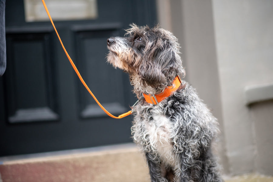 orange dog collar and lead for a small dog