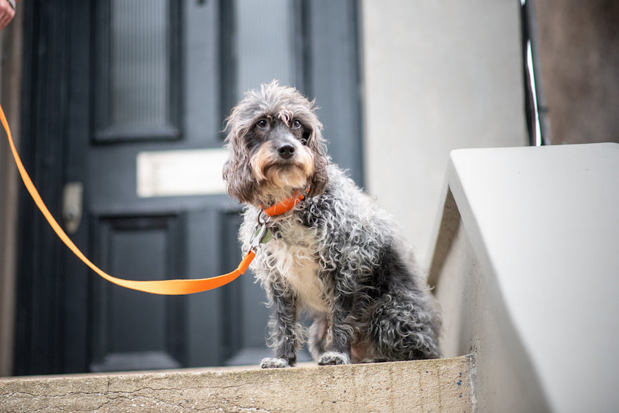 orange lead and collar for small dogs
