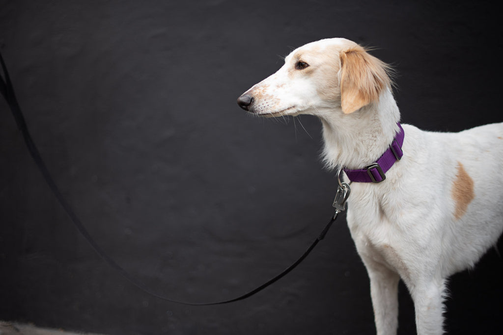 purple dog collar for a saluki