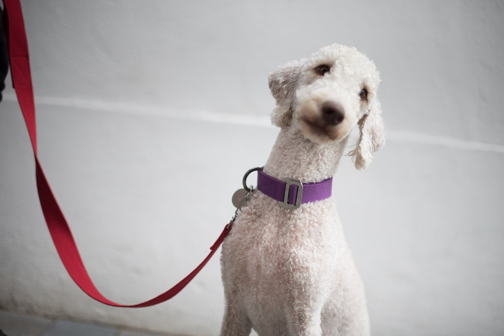 purple dog collar with red lead