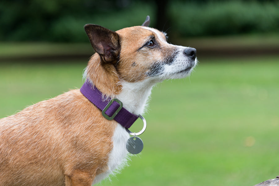 purple collar for small dog