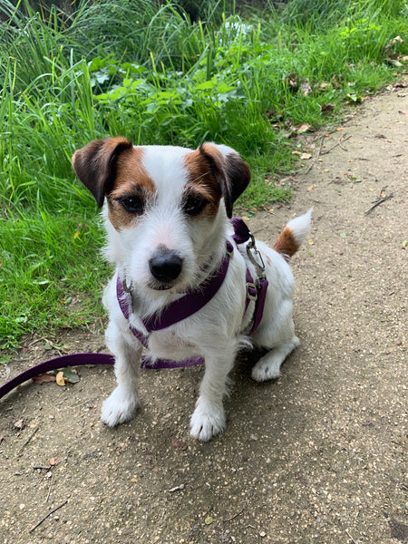 purple harness for terrier