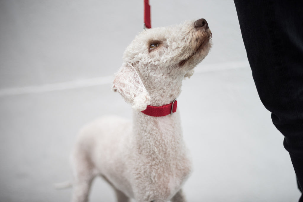 red collar for a bedlington