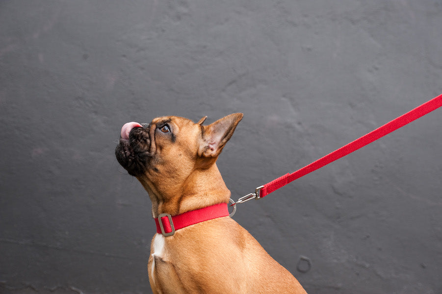 red dog collar and lead for a frenchie