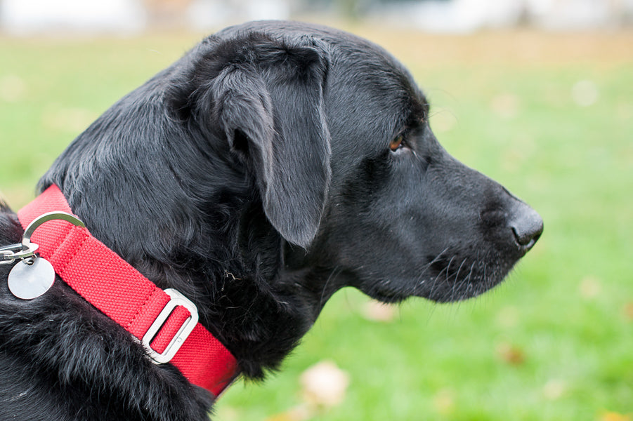 red fabric collar for a lab