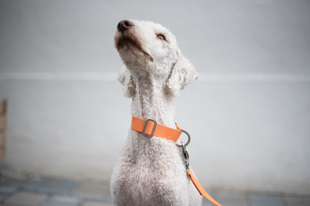 small orange collar and lead