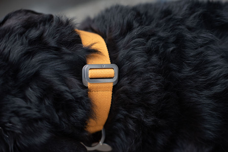 tangy mustard dog collar