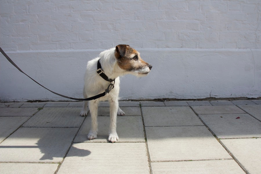 black collar and lead for a terrier
