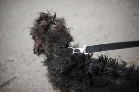 black dog lead for dachshund