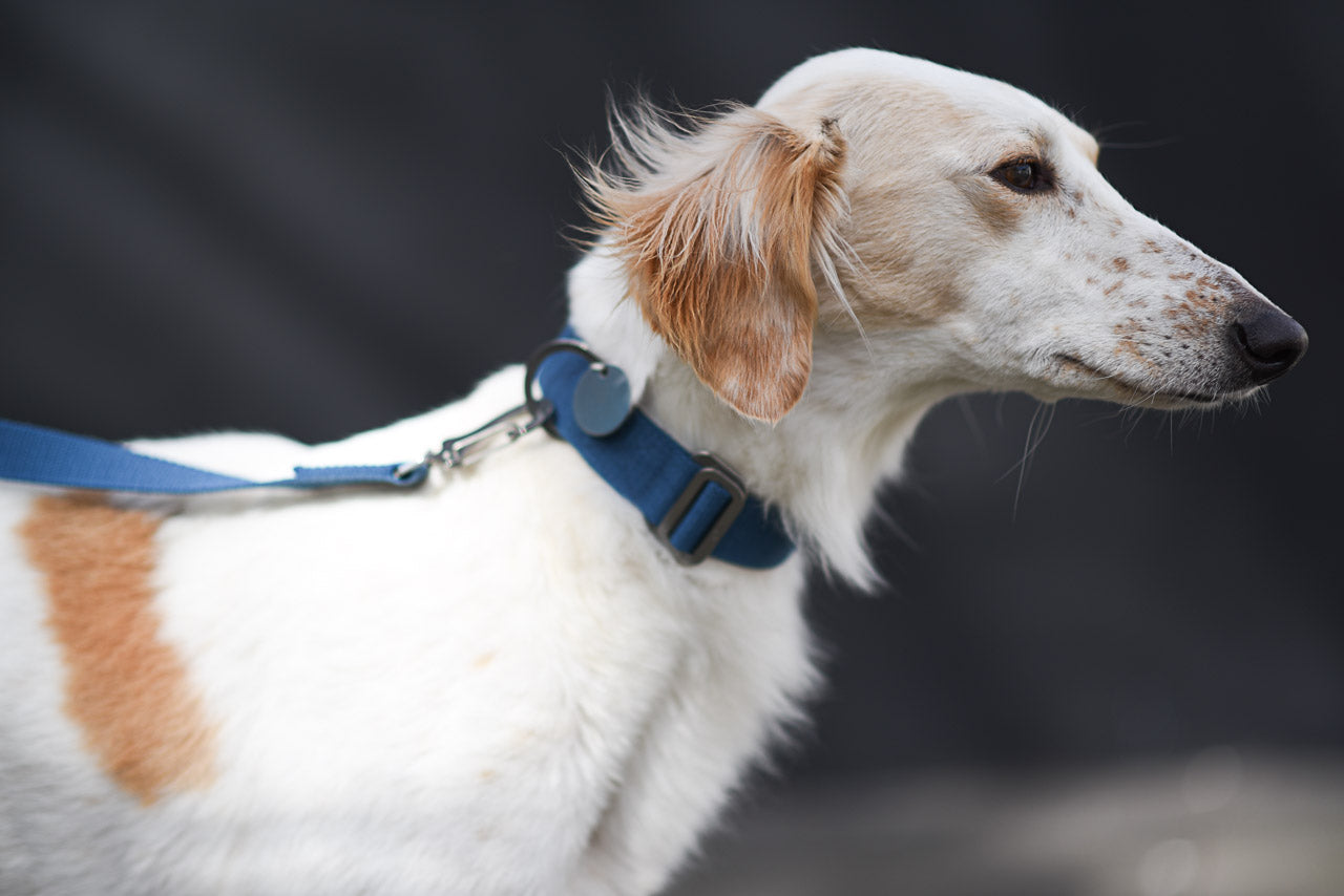 blue collar and lead for a saluki