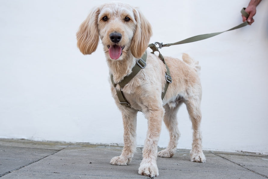 cockapoo harness