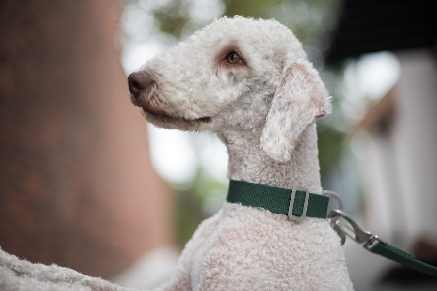 green dog collar for bedlington terrier