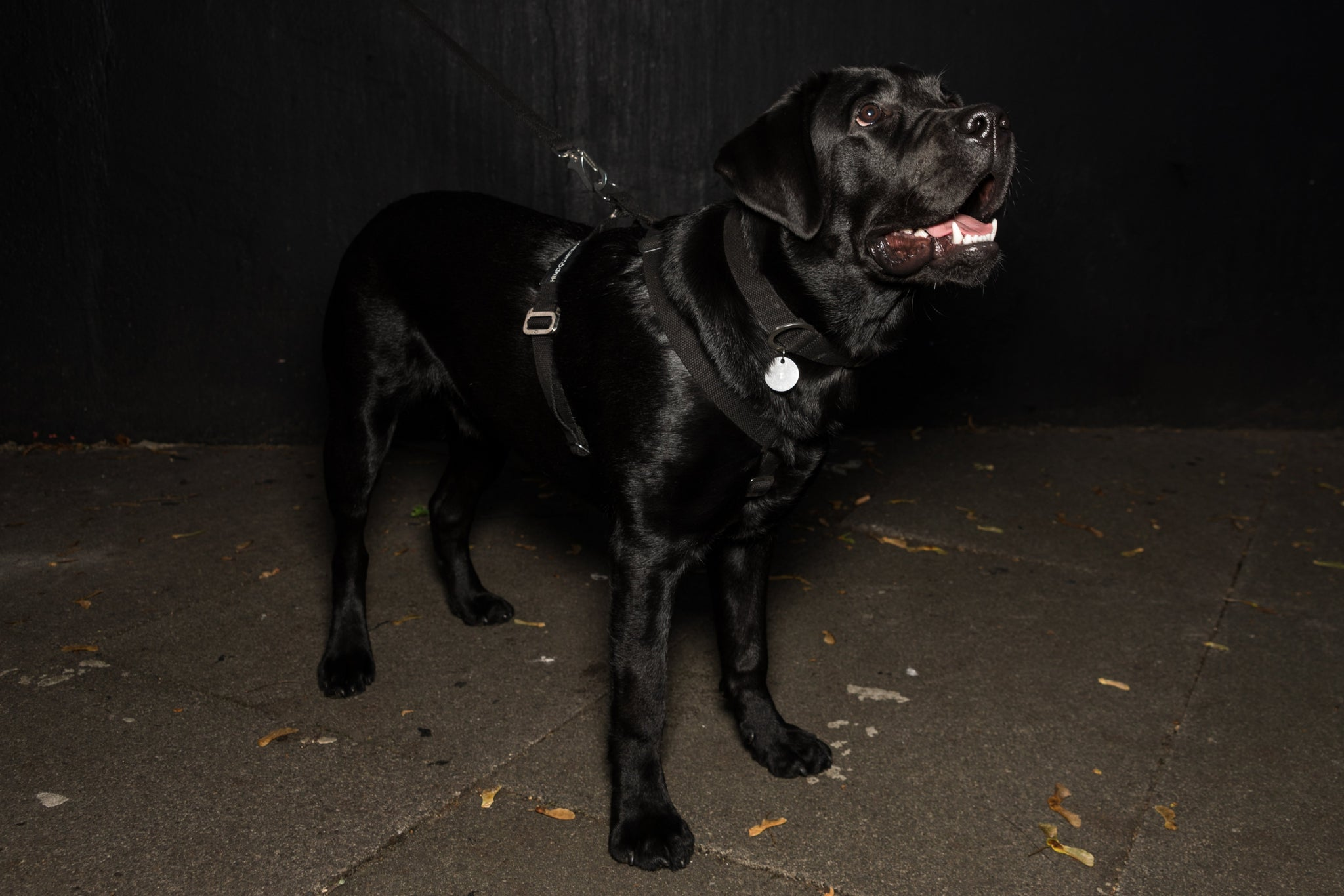 harness for a black lab