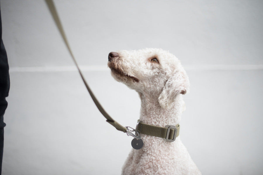 khaki collar for bedlington