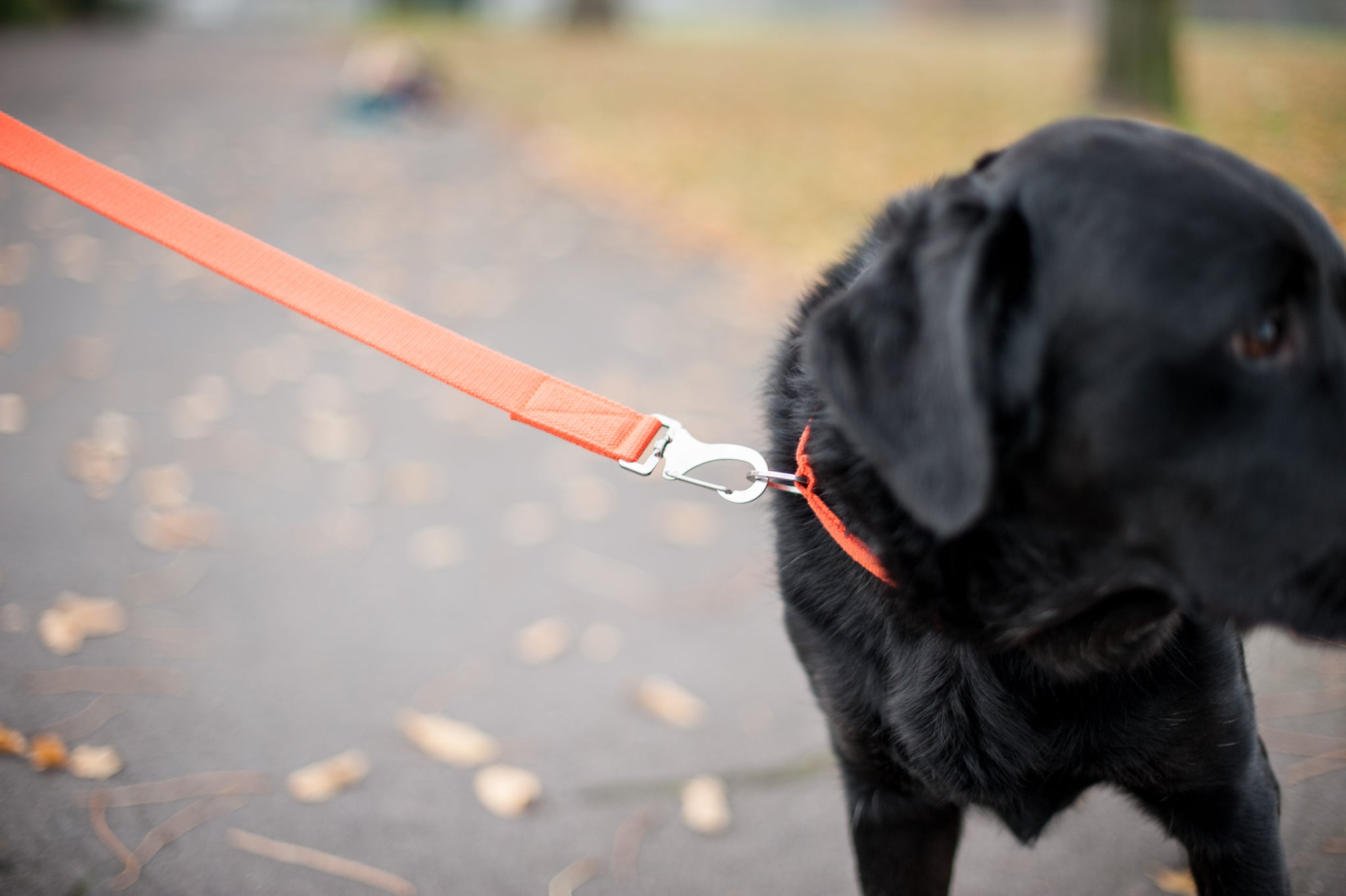 orange dog lead for lab